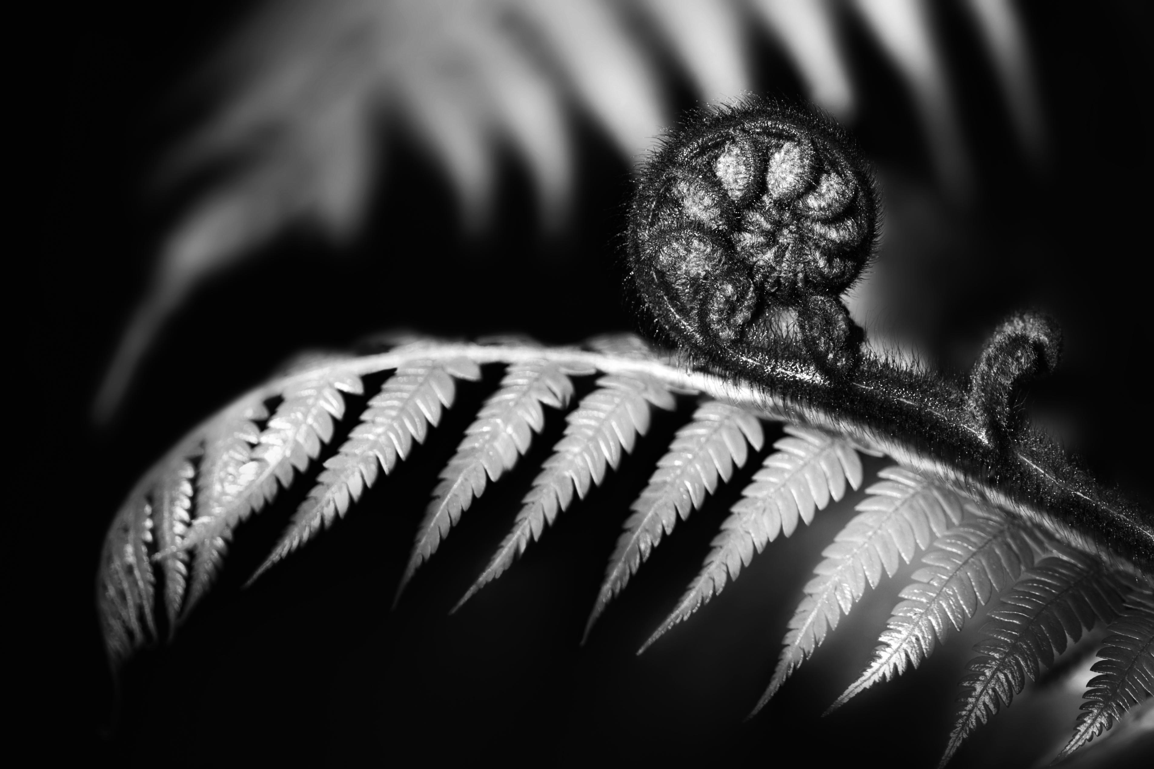 NZ-Fern-Koru